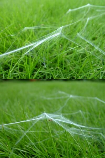 芝生に蜘蛛の巣