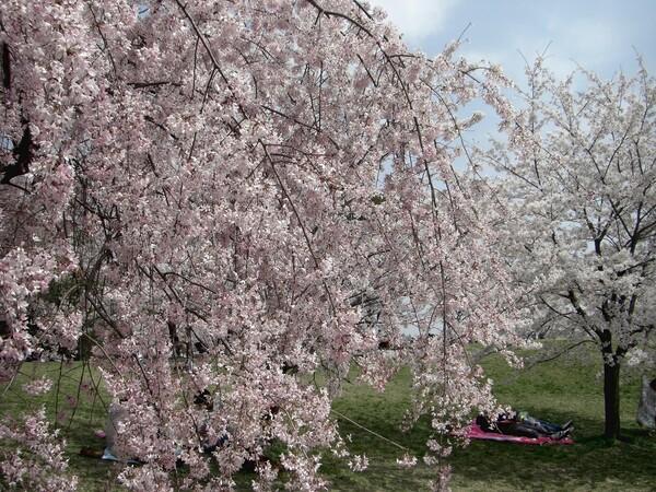 【花のある情景】桜・お花見場所取り・その後の迷い