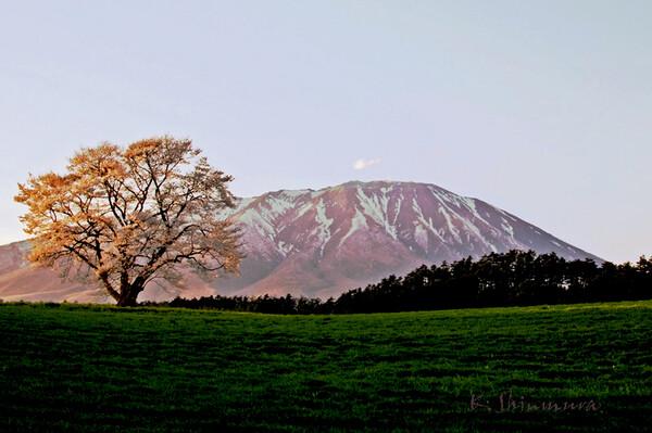 小岩井農場の一本桜です。