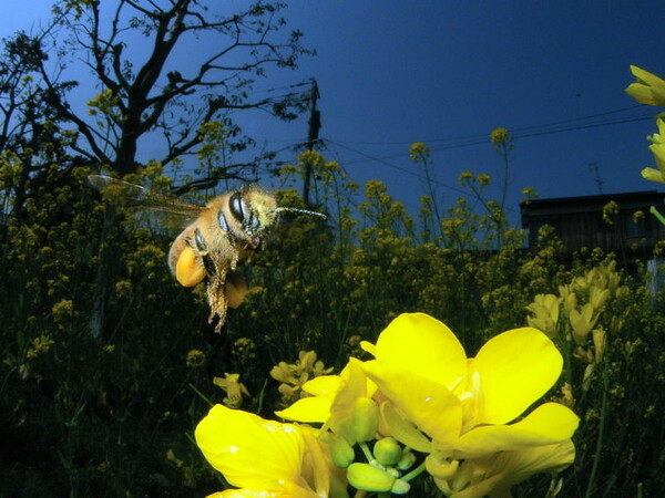 コンデジで撮影したミツバチ