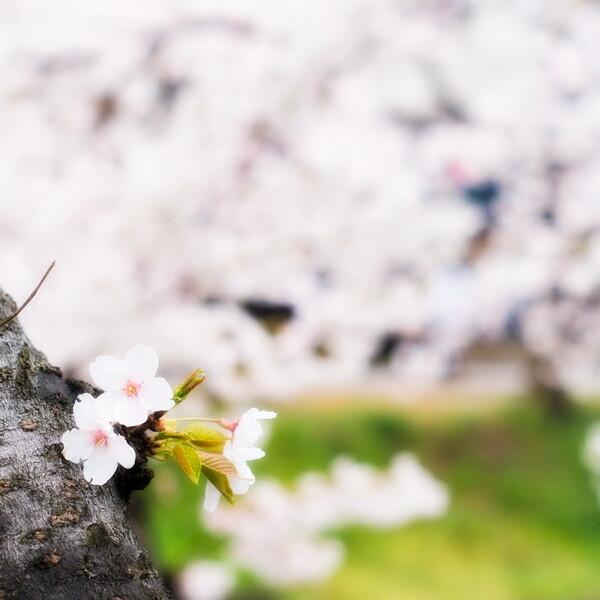 【スクエア】桜、満開