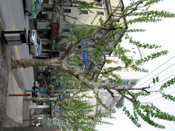 【植】街路樹