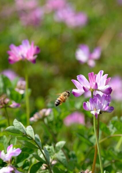 蓮華草にミツバチ