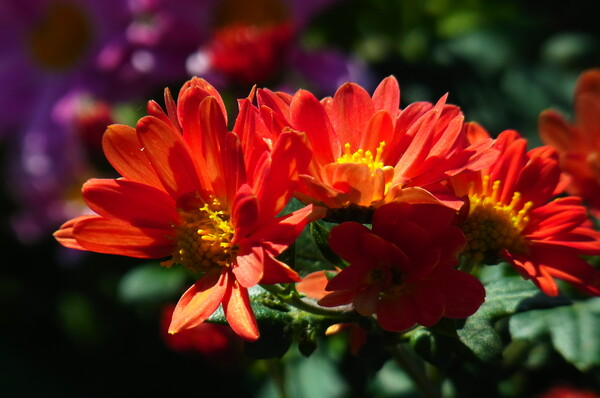 菊薫る季節②