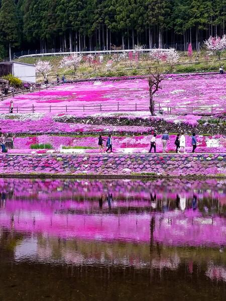 【縦画像】國田家の芝桜❤