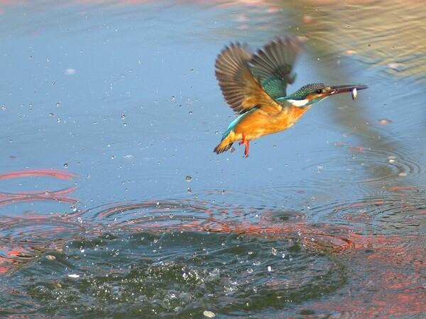 「紅梅映す池面、水上がり翡翠」