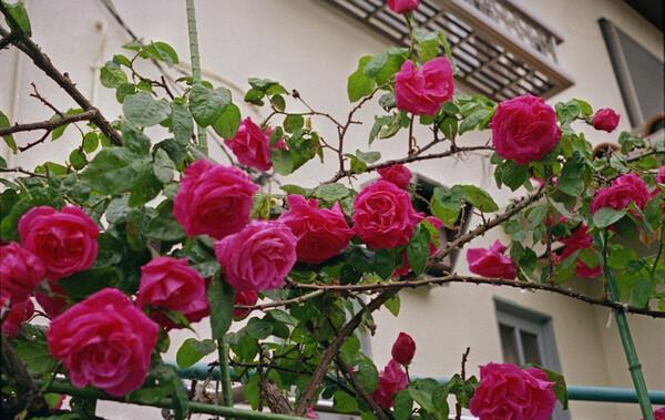 赤い薔薇 ふたたび