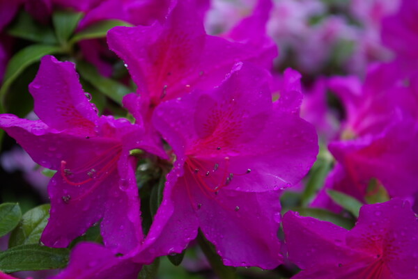 雨中のツツジ