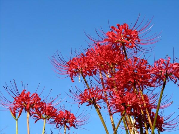 青空に赤い彼岸花