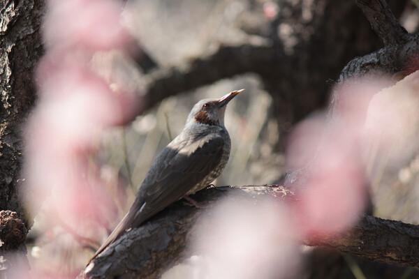 梅にふんわりヒヨドリ