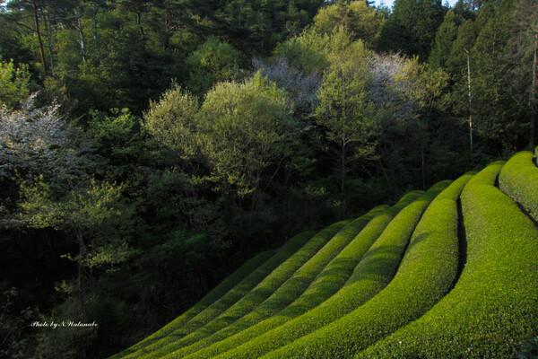 新茶と新緑と