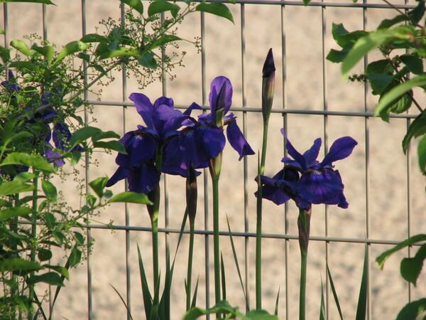 【質】紫色