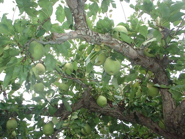 【秋】青いりんご