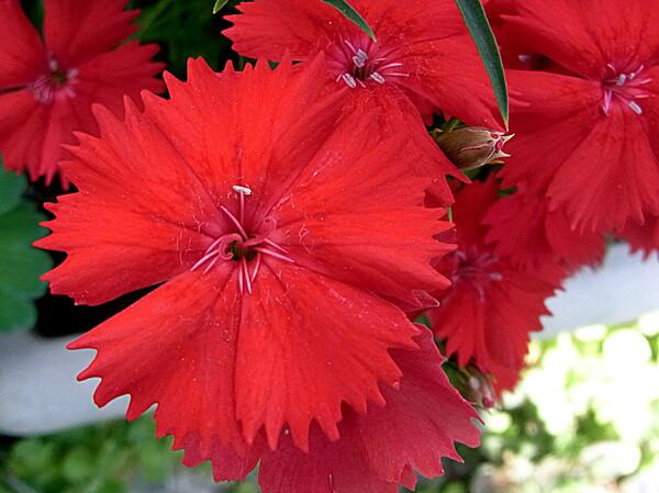 赤い花 石竹