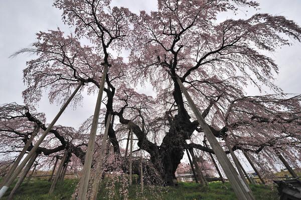 2012/4/26 三春の滝桜