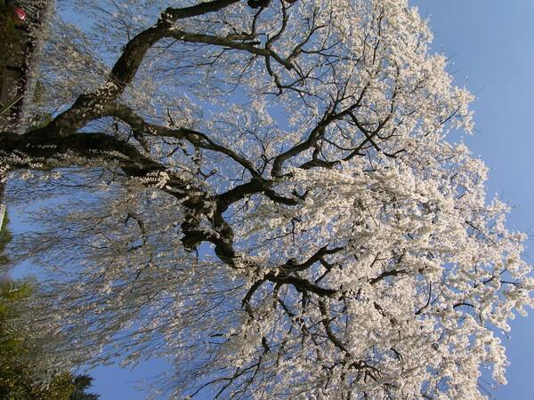 【桜】ここは感動【天益寺】