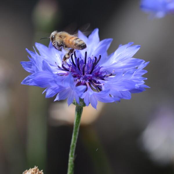 矢車草にミツバチ