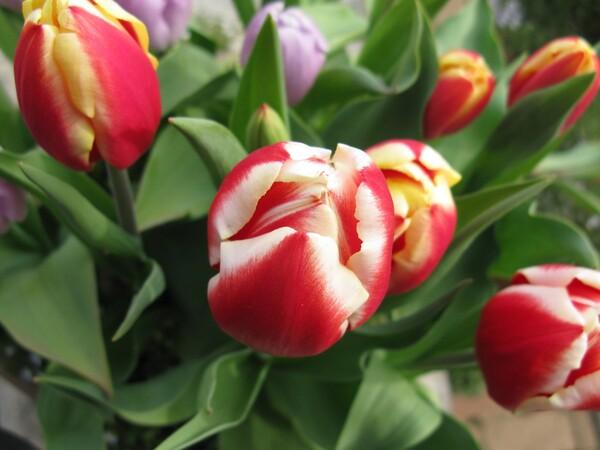 チューリップも咲きだしています