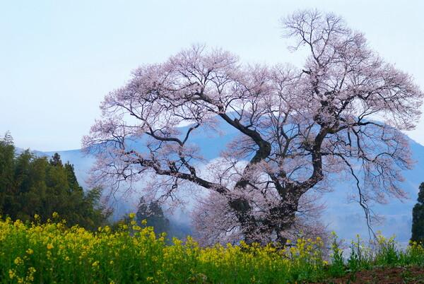 要害桜inニコン板