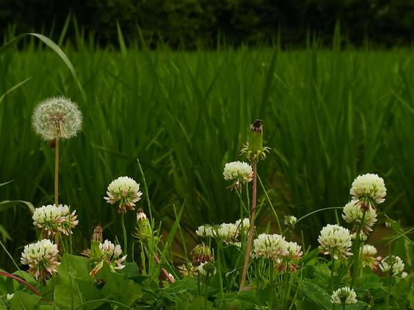 畦道の野花