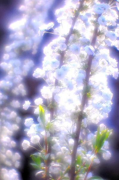【この色 好き!】春の花 桜#4