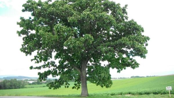 【木】セブンスターの木