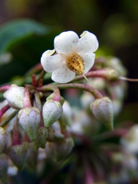 【縦撮り】マンリョウの花