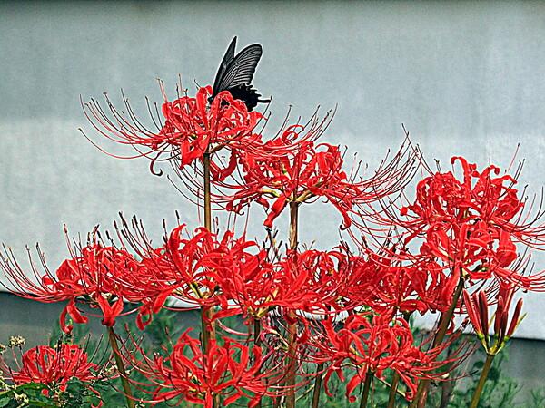 リコリス赤色