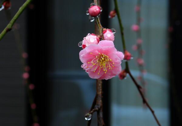 ピンクの枝垂れ梅