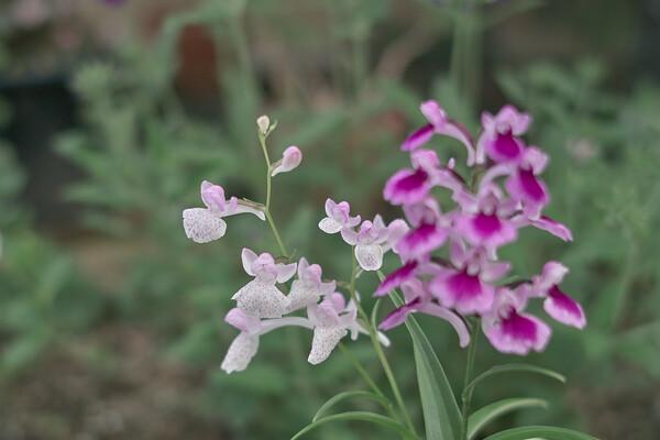 【写真しりとり】羽蝶蘭の花→「な」
