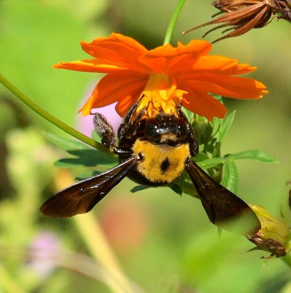 クマバチのUP