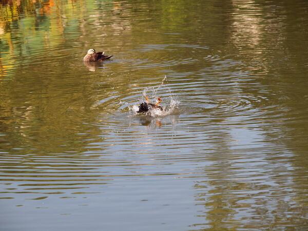 鴨の水浴び