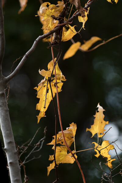 枯れツタの黄葉