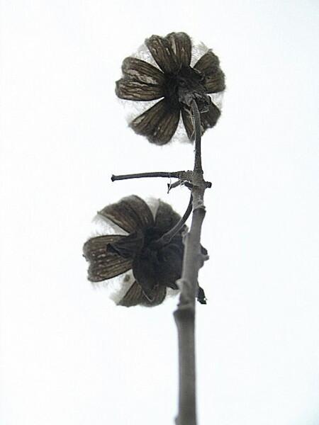 『枯れ尾花』