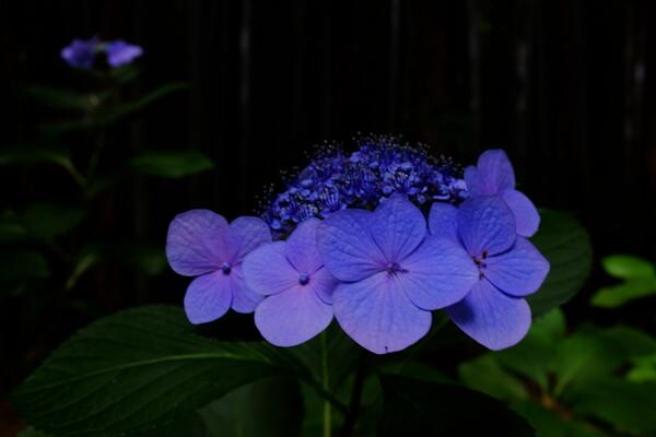 里山の紫陽花はまだ元気