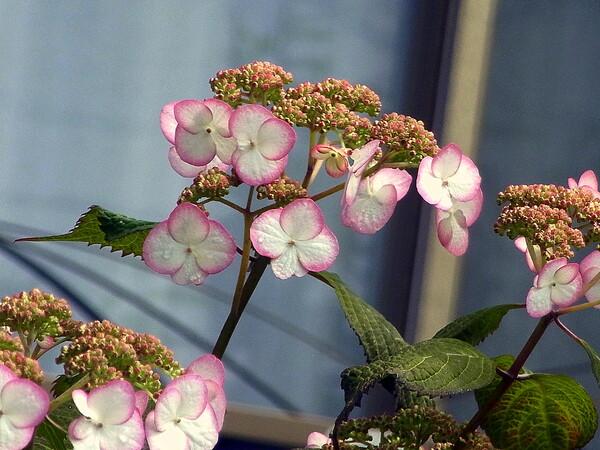 庭に咲くアジサイ