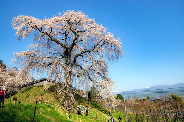 【はな】石塚桜