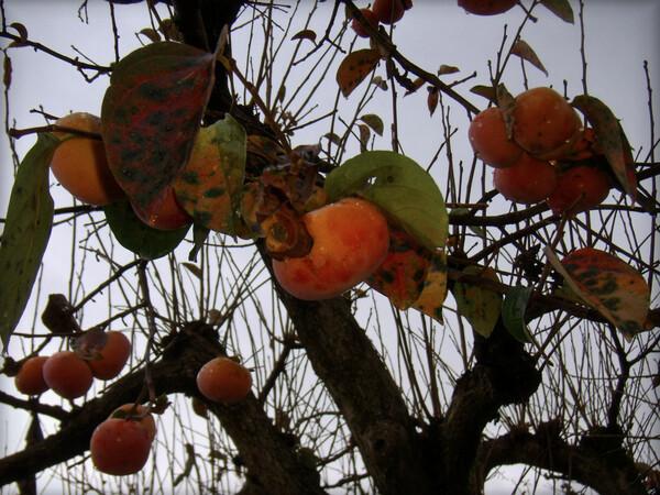 時雨れる朝の柿