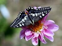 花に留まるアゲハ蝶