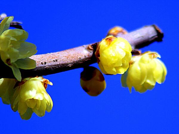 枝先の蝋梅