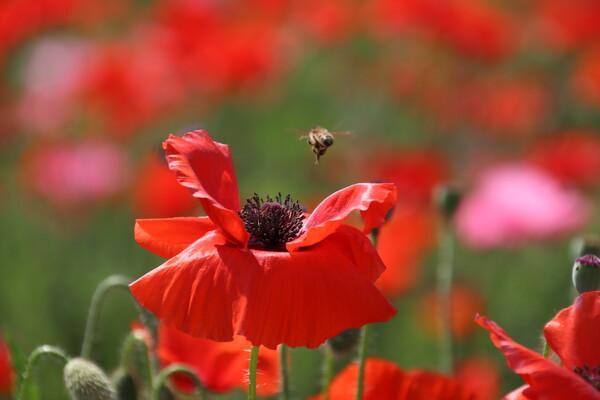 蜂とポピー