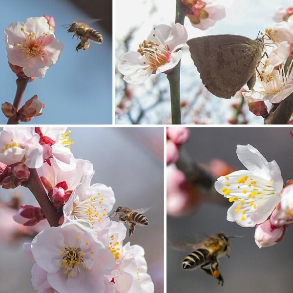 梅花の香り