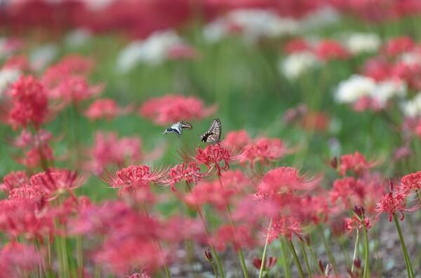いつもの花に、いつものアゲハ