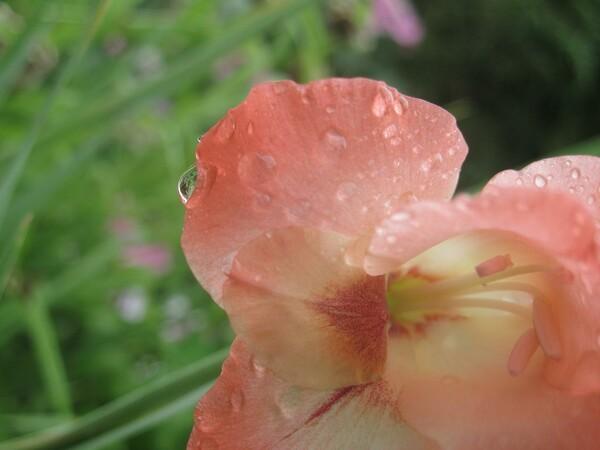 雨のグラジオラス