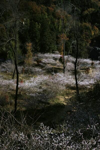 薬師寺 四季桜
