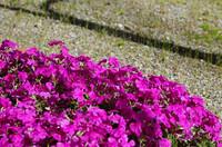 庭にて、芝桜