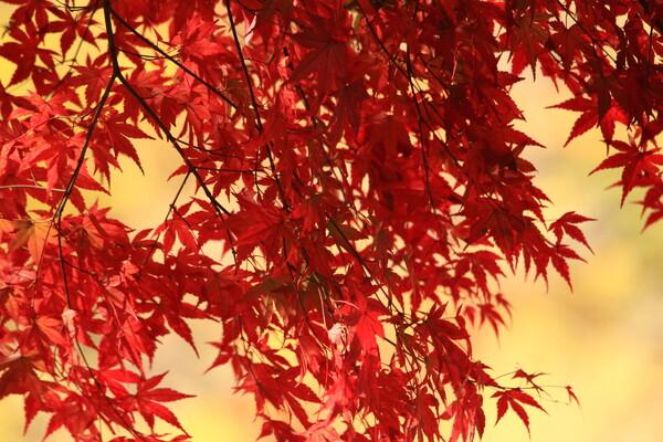 秋を染め抜く