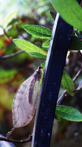 スカシヒロバカゲロウ(ヒロバカゲロウ科)