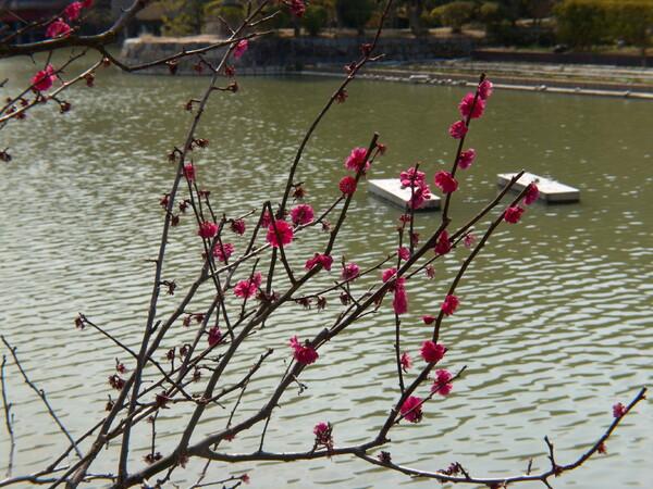 池の淵の梅の木