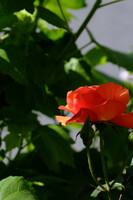 薔薇の季節2